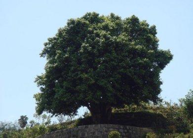 栽培型间过渡种类的大茶树